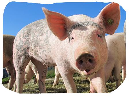 viande porc